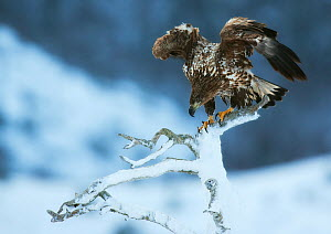 White-tailed eagle (Haeliaeetus albicilla) perched on snowy snag with wings raised, Flatanger, Norway, January.  -  Ole  Jorgen Liodden