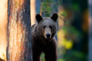 European brown bear (Ursus arctos arctos) peering past tree trunks in forest, Finland, June. - Ole  Jorgen Liodden