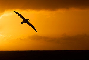 Campbell albatross (Thalassarche impavida) in flight, silhouetted at sunset, near Campbell Islands, Sub-Antarctic New Zealand. February.  -  Ole  Jorgen Liodden