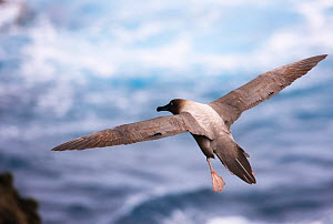 Light-mantled sooty albatross (Phoebetria palpebrata) in flight, Auckland Island, Sub-Antarctic New Zealand. February.  -  Ole  Jorgen Liodden