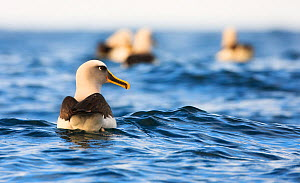 Buller's albatross (Thalassarche bulleri) swimming on sea, Snares Islands, Sub-Antarctic New Zealand, February.  -  Ole  Jorgen Liodden