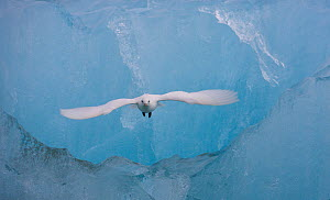 Ivory gull (Pagophila eburnea) in flight in front of blue ice, Spitsbergen, Svalbard, Norway. July.  -  Ole  Jorgen Liodden