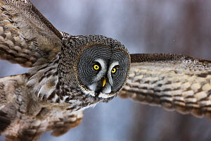 Great grey owl (Strix nebulosa lapponica) in flight, close up, Finland, March.  -  Ole  Jorgen Liodden