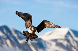 Parasitic jaeger (Stercorarius parasiticus) in flight in front of mountains, Spitsbergen, Svalbard  -  Ole  Jorgen Liodden