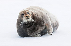 Bearded seal (Erignathus barbatus) hauled out, Spitsbergen, Svalbard, Norway, June. - Ole  Jorgen Liodden
