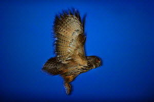 Eurasian eagle-owl (Bubo bubo) in flight, Norway, July. - Ole  Jorgen Liodden