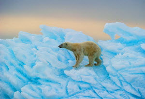 Polar bear (Ursus maritimus) walking over blue ice,  Nordaustlandet, Svalbard, Norway, July. - Ole  Jorgen Liodden