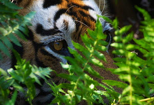 Bengal tiger (Panthera tigris tigris) close up of eye, hidden in vegetation, Bandhavgarh, India.  -  Ole  Jorgen Liodden