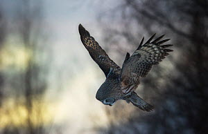 Great grey owl (Strix nebulosa lapponica) hunting in flight, Lapland, Finland, March.  -  Ole  Jorgen Liodden