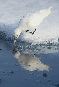 Ivory gull (Pagophila eburnea) drinking with reflection in water, Svalbard, Norway, July.  -  Ole  Jorgen Liodden