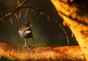 Common moorhen (Gallinula chloropus) perched on branch, Lake Naivasha, Kenya. - Ole  Jorgen Liodden
