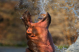 Hippopotamus (Hippopotamus amphibius) rearing head out of water, creating spray, Lake Naivasha, Kenya. - Ole  Jorgen Liodden