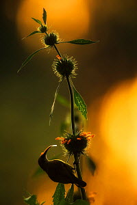 Red-chested Sunbird (Cinnyris erythrocercus) backlit on flower, Rwanda. - Ole  Jorgen Liodden