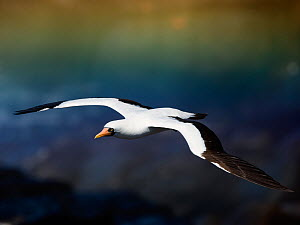 Nazca booby (Sula granti) in flight with rainbow behind, Galapagos.  -  Ole  Jorgen Liodden