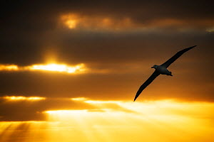 Antipodean albatross (Diomedea antipodensis) in flight at sunset with rays of light shining through he clouds. near Antipodes Islands, Sub-Antarctic New Zealand, March. - Ole  Jorgen Liodden