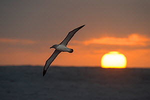 Buller's albatross (Thalassarche bulleri) in flight over the sea at sunset, Bounty Island, Sub-Antarctic New Zealand, March.  -  Ole  Jorgen Liodden