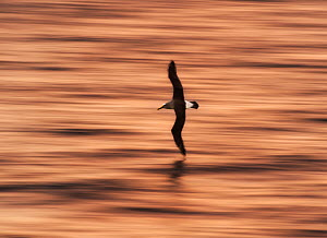 Buller's albatross (Thalassarche bulleri) flying just above the water at sunrise, Pitt Island, Chatham Islands, New Zealand  -  Ole  Jorgen Liodden