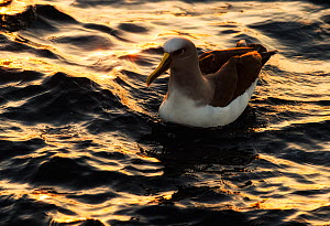 Buller's albatross (Thalassarche bulleri) swimming on the sea at sunrise near Pitt Island, Chatham Islands, New Zealand, March.  -  Ole  Jorgen Liodden