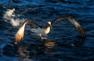 Buller's albatross (Thalassarche bulleri) taking off water, near Chatham Islands, New Zealand, March.  -  Ole  Jorgen Liodden