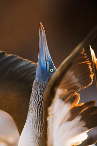 Blue-footed booby (Sula nebouxii exisa) displaying, Galapagos Islands. - Ole  Jorgen Liodden