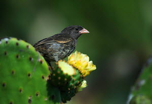 Sharp-beaked ground finch (Geospiza difficilis) on Opuntia cactus, Galapagos Islands. Endemic. - Ole  Jorgen Liodden