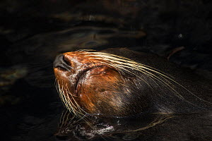 Galapagos fur seal (Arctocephalus galapagoensis) resting in the water, with mouth and nose above the surface, Galapagos. Endemic.  -  Ole  Jorgen Liodden