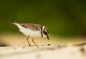 Semipalmated plover (Charadrius semipalmatus) foraging on beach, Galapagos  -  Ole  Jorgen Liodden