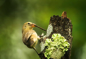 Woodpecker finch (Camarhynchus pallidus) using stick as a tool for foraging, Galapagos. Endemic. - Ole  Jorgen Liodden