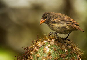 Common cactus finch (Geospiza scandens intermedia) on cactus, Galapagos. Endemic. - Ole  Jorgen Liodden
