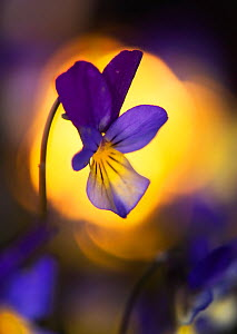 Heartsease / Wild pansy (Viola tricolor) flower, Norway, May. - Ole  Jorgen Liodden