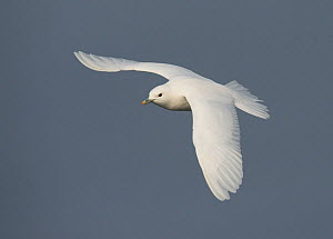 Ivory gull (Pagophila eburnea) in flight, Storfjorden, Svalbard, Norway, June.  -  Ole  Jorgen Liodden