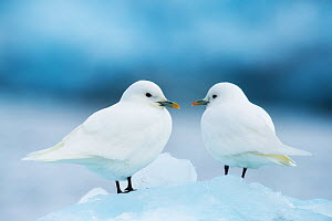 Two Ivory gulls (Pagophila eburnea) on ice, Storfjorden, Svalbard, Norway, June.  -  Ole  Jorgen Liodden