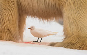 Ivory gull (Pagophila eburnea) behind Polar bear (Ursus maritimus) framed by its legs, Svalbard, Norway, July. - Ole  Jorgen Liodden