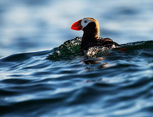 Tufted puffin (Fratercula cirrhata) swimming on the sea, Commander Island, Russia, September. - Ole  Jorgen Liodden