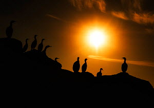 Red-faced cormorant (Phalacrocorax urile) group perched on cliff at sunset, Commander Island, Russia, September.  -  Ole  Jorgen Liodden