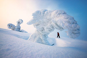 Boy on skis going up slope, framed by snow laden tree, Norway, February 2014. - Ole  Jorgen Liodden