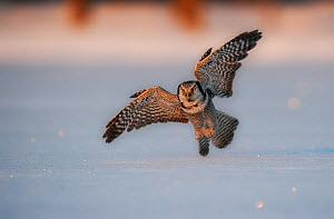 Northern hawk owl (Surnia ulula ulula) hunting, swooping low to the snow, Norway, February. - Ole  Jorgen Liodden