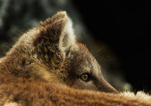 Arctic fox (Alopex lagopus lagopus) in summer fur, close up portrait while resting Spitsberg, Svalbard, Norway, August.  -  Ole  Jorgen Liodden
