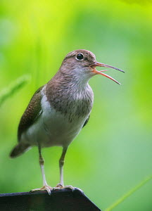 Common sandpiper (Actitis hypoleucos) singing with tongue visible, Norway, June.  -  Ole  Jorgen Liodden
