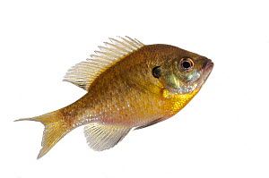 Bluegill (Lepomis macrochirus) Elliott, Mississippi, USA, April. Meetyourneighbours.net project  -  MYN / Andrew Snyder