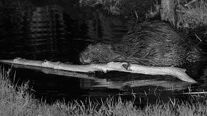 Male Eurasian beaver (Castor fiber) at night, feeding on a branch in a pond, Devon Wildlife Trust's Devon Beaver Project, Devon, UK, April. - Nick Upton