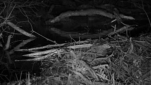 Juvenile Eurasian beaver (Castor fiber) at night, swimming past a dam, with a Wood mouse (Apodemus sylvaticus)  running by in the foreground, Devon Wildlife Trust's Devon Beaver Project, Devon, UK, Ap...  -  Nick Upton
