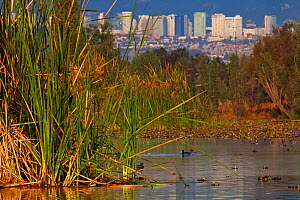 Aquatic plants (Typha sp.) with Mexico City buildings in the back, Xochimilco wetlands, Mexico City, January - Claudio  Contreras
