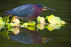 Green heron (Butorides virescens), Xochimilco wetlands, Mexico City, June  -  Claudio  Contreras