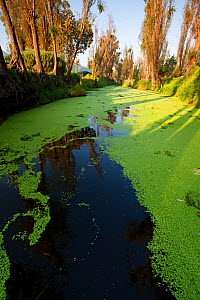 Canal between chinampas, a wetland agricultural system, with Fat Duckweed (Lemna gibba),  Xochimilco wetlands, Mexico City, October - Claudio  Contreras