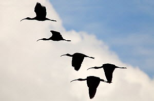 White-faced ibis (Plegadis chihi) group of five flying silhouetted against clouds, Xochimilco wetlands, Mexico City, February - Claudio  Contreras