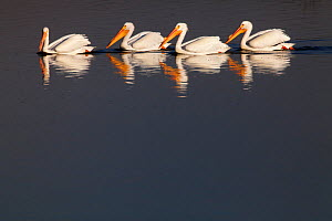 American white pelican (Pelecanus erythrorhynchos) group of four, Xochimilco wetlands, Mexico City, March - Claudio  Contreras