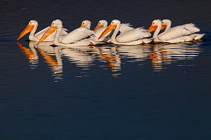 American white pelican (Pelecanus erythrorhynchos) group swimming together. Xochimilco wetlands, Mexico City, Mexico. March - Claudio  Contreras