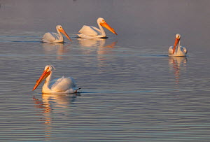 American white pelican (Pelecanus erythrorhynchos) group of four on water,  Xochimilco wetlands, Mexico City, March - Claudio  Contreras