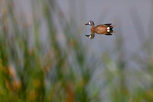 Blue-winged Teal (Anas discors) male, Xochimilco wetlands, Mexico City, March  -  Claudio  Contreras